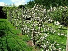 Espalier training of fruit trees is fun, but demanding. Tips from the OSU Extension Service.