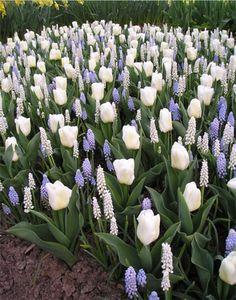 Muscari and tulips ~ purple and white heaven