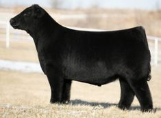 Show Steers, Show Cattle, Showing Livestock, Cows, Heavenly, Whiskey, Maine, Smooth, Quotes