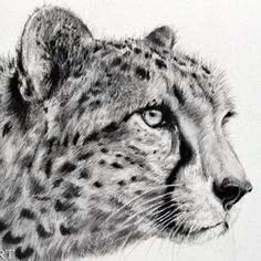 Exciting Learn To Draw Animals Ideas. Exquisite Learn To Draw Animals Ideas. Cheetah Drawing, Cat Drawing, Drawing Animals, Graphite Art, Graphite Drawings, Animal Sketches, Art Sketches, Beautiful Cats, Beautiful Artwork
