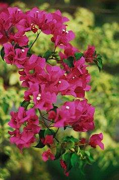 Bougainvillae (by Fadzly)