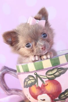 Adorable little tea cup puppy     #dogs #puppies #smalldogs http://www.petrashop.com/