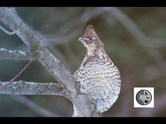 Ruffed Grouse climbing on a tree to feed Grouse, Wild Animals, Bird Feeders, Climbing, Birds, Painting, Rock Climbing, Bird, Painting Art