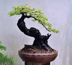"""In bonsai growing, the slanting style is one of several styles that are used to shape and """"train"""" the bonsai tree. Bonsai Tree Price, Buy Bonsai Tree, Japanese Bonsai Tree, Bonsai Trees For Sale, Bonsai Tree Care, Bonsai Tree Types, Mini Bonsai, Indoor Bonsai, Bonsai Plants"""