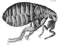 Hooke's flea