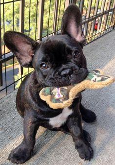 Reggie the French Bulldog