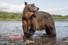 Как сфотографировать медведя на Камчатке и остаться в живых