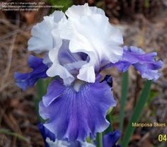 Tall Bearded Iris Mariposa Skies (Iris) at Dave's Garden.  All pictures are contributed by our community.