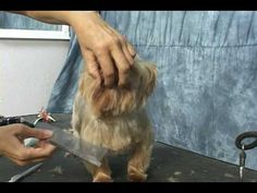 Yorkie grooming. Learn how to groom a yorkie, yorkshire terrier, at www.howtogroom.net