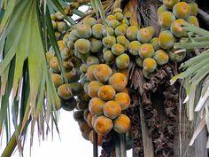 Palmyra Palm Fruits (Borassus aethiopum)