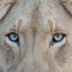https://pricemagazine.wordpress.com/ #lions #animal #naturelovers #price