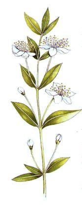 Macedónia com flores de mirtilo (Ricette coi fiori: Macedonia al mirto.)