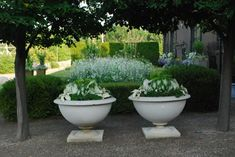 """Being ever so fond of all of the cultivars of nicotiana, I planted the boxwood parterre in front of the shop this year with a mix of 3 kinds.  Nicotiana """"perfume white"""" is short growing, and as  fragrant as the name suggests.  Nicotiana alata white is a taller, lanky growing nicotiana with larger and more widely spaced branches and flowers.  Bur nearest and dearest to my heart is the big growing species, nicotiana mutabilis.  I can't manage to let a summer go by without planting it-usually…"""
