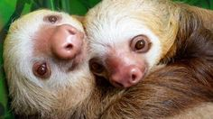 Two adorable baby sloths having a cuddle