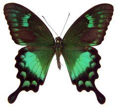 ButterflyCorner.net: Papilio neumoegeni