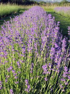 Lockwood Lavender Farm: Pick Your Own Bouquet at Lockwood Lavender Farm