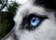 Wild Wolf, Husky Mix, Beautiful Creatures, Dogs And Puppies, Doggies, Animals And Pets, Blue Eyes, Park, Wolves