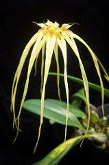 Bulbophyllum Lion King (dwittkower) Tags: orchid flower flora orchids orchidaceae hybrid orquideas orchide bulbophyllum bulbo orqudea