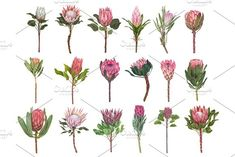 by Natalka Dmitrova on Set of hand drawn vector protea illustrations. All the pictures were fully created in Adobe Illustrator. Zip-file contains EPS-files, Flower Illustration Pattern, Pattern Drawing, Graphic Illustration, Fleur Protea, Protea Flower, Protea Art, Australian Native Flowers, Birthday Cards For Women, Hand Drawn Flowers
