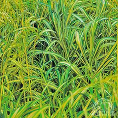 Bromus inermis 'Skinner's Gold' - Golden Brome Grass Perennial. Attractive variegated green and yellow leaves.  A very hardy grass that can grow over 3' tall .