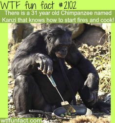 Kanzi, the chimpanzee that knows how to cook.~ Why is it that a chimp can cook himself food, but some 'adult' males can't? Come on guys, if a chimp can do it, so can you!