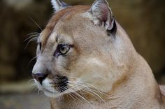 El Refugio Foundation is a Cali-based non-profit organisation providing shelter for 120 wildlife animals saved from illegal trade Mountain Lion, Pumas, Lions, Shelter, Wildlife, Cats, Animals, Beautiful, Shelters