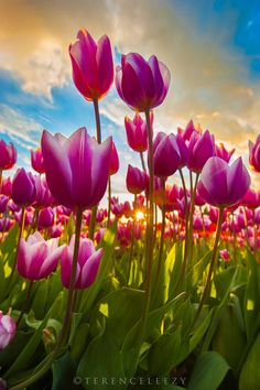 Tulips Galore! by Terence Leezy on 500px