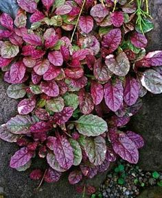 Ajuga Reptans 'Burgundy Glow', add color in the form of this groundcover, plants, gardening, landscaping,