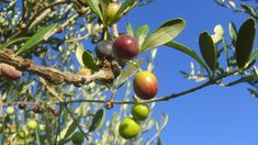 Aceituns Arbequina Apple, Fruit, Food, Olive Oil, Sisters, Health, Apple Fruit, Essen, Meals