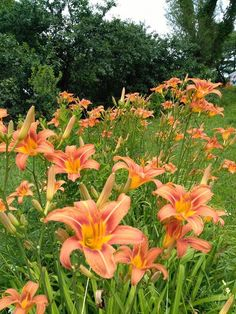 Lot of 20 two tone orange day lilies Daylily tuber root Summer Lily plant FanThanks for looking! Orange Lily Flower, Lilly Plants, Summer Lily, Garden Mural, Lily Garden, Backyard Plants, Plant Guide, Annual Flowers, Hawaiian Flowers