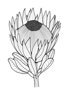 Tropical Flower Drawing One Color Tropical Flower Drawing One Color. Tropical Flower Drawing One Color. Tropical Flower Sketch at Paintingvalley in tropical flower drawing Glorious Protea Flowers to Color Protea Art, Flor Protea, Protea Flower, Art Floral, Floral Drawing, Flower Sketches, Drawing Sketches, Flower Drawings, Drawing Tips