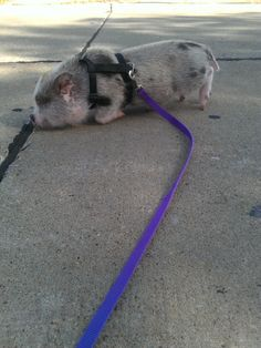 Mason doesnt wanna walk Mini Pig, Juliana Pig, Piglets -For SALE (Male, white spotted)- Pet Pigs, Baby Pigs, Teacup Animals, Baby Animals, Juliana Pigs, Cute Piglets, Small Pigs, Factory Farming, Mini Pigs