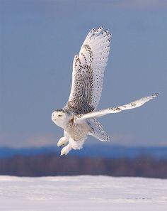 Snowy owl ---Pretty predator