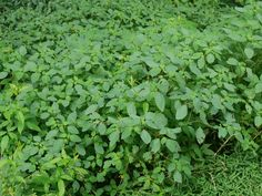 Jewelweed poison ivy and other rash itch antidote.