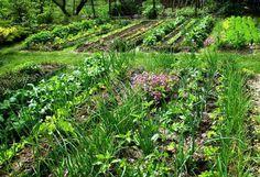 A MAGYAROK TUDÁSA: Természetes permetlevek és növénytársítások kertből, mezőről Green Garden, Garden Plants, Back Garden Landscaping, Biodynamic Gardening, Lush Green, Back Gardens, Raised Beds, Vineyard, Environment