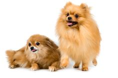 The unfortunate reality of a Pomeranian's gorgeous, fluffy double coat is that the fine, dense undercoat can work itself into tangled knots if you don't brush him regularly. If your pom develops matted hair, deal with the problem sooner rather than later to avoid painful and troublesome skin conditions.