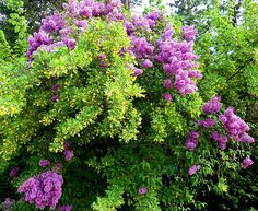 A colorful mix of yellow Caragana and mauve Lilac blossoms on a beautiful spring day in the Lake Country District of the Okanagan Valley in British Columbia, Canada.