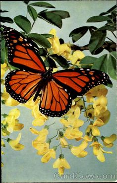 Danaus plexippus. The Monarch butterfly is noted in the U. S. A. for its great migratory treks in the Spring from California and Florida up towards Canada, and in the autumn, later generations of butterflies traveling South again in enormous swarms.