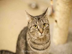 Psst, over here. I'm the cat named Simone, and I'm on an important hunt. For what, you say? Well, the hunt for my forever home, of course! I am a spayed female, brown tabby Domestic Shorthair and I am about 1 year and 8 months old. (ID#A075616)