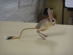 JerboaThe jerboa forms the bulk of the membership of the family Dipodidae. Jerboas are hopping desert rodents found throughout Northern Africa and Asia east to northern China and Manchuria. They tend to be found in hot deserts (Wikipedia). Via Ian Wilson.