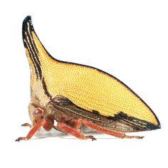 Treehopper 05