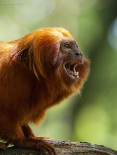 Golden Lion Tamarin (Leontopithecus Rosalia) by Fanny den Outer - Photo 65354301 - Primates, Golden Lion Tamarin, New World Monkey, His Dark Materials, Endangered Species, Animals, Monkeys, Northern Lights, Illustrations