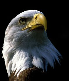 The biggest eagles in the World - Top Eagles are large, powerful birds of prey, with a heavy head, beak and large wingspan. Eagles are apex predators in the avian world. Eagle Pictures, Animal Pictures, Beautiful Birds, Animals Beautiful, The Eagles, Bald Eagles, Animals And Pets, Cute Animals, Eagle Art
