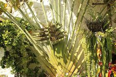 Royal Palm located in South Coast of Ecuador