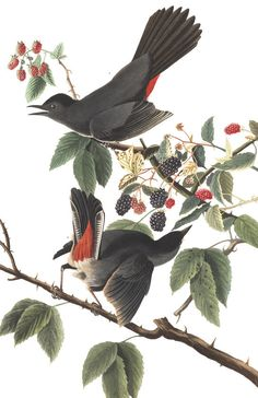 Bird Print - Gray Catbird - Vintage Art Print - Audubon Book Plate, Print - Catbird - Birds of America - John James Audubon - Vintage Bird Illustration, Illustration Art, Audubon Birds, Bird Poster, Birds Of America, John James Audubon, Vintage Birds, Vintage Prints, Vintage Art