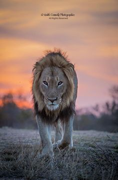 Lion Dusk by Keith Connelly Photographics on 500px
