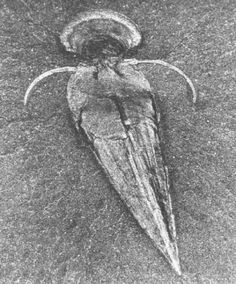 The Burgess Shale in British Columbia contains very old (~550 million years ago), very rare fossils of very early organisms. This is Haplophrentis. The function of the pair of short spines is unknown but the creature was tiny, just a few centimeters in length (hint 2.5 cm = 1 inch, more or less).