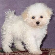 15 Best Bolognese Puppies Images Bolognese Puppies English