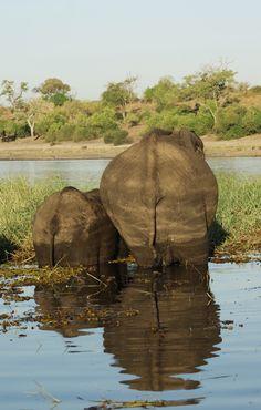 ReFlectioN  Elephants in Chobe, Botswana.  www.africasafaricamps.com