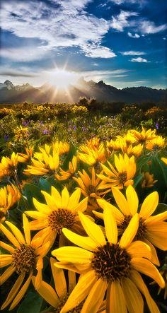 Daisies illuminated by sunrise, Yellowstone National Park, Wyoming.